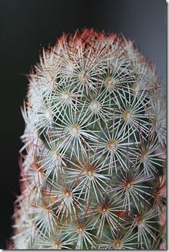 Mammillaria-elongata-'Julio'_04