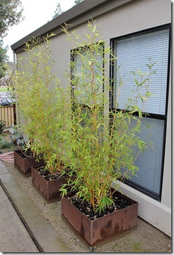 110130_phyllostachys_aurea_holochrysa1