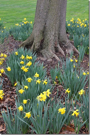 110219_daffodils