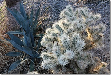 110220_agave_and_cholla