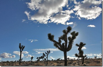 110220_joshua_tree2