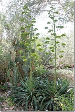 110223_living_desert_blooming_agave