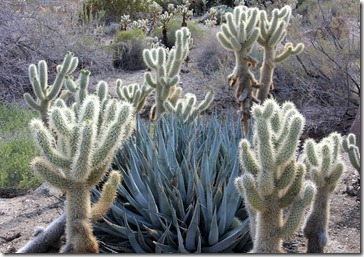 110223_living_desert_agave_and_cholla