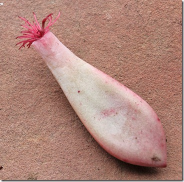 graptopetalum-amethystinum_rooted_leaf2