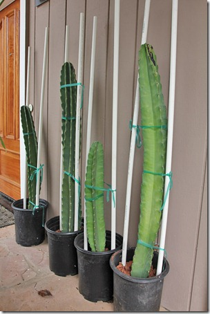 110327_Cereus-hildmannianus-subsp.-hildmannianus_05