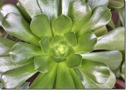110103_Aeonium-undulatum