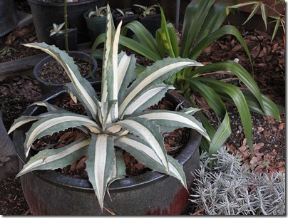 110327_Agave-americana-Mediopicta-Alba_01