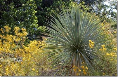 110409_Yucca-rostrata- -Cassia-artemisioides_02