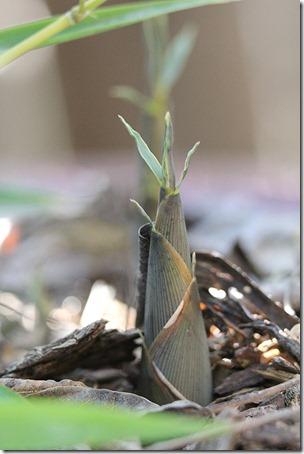110412_Phyllostachys-aurea-Koi
