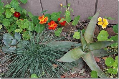 110414_succulents nasturtiums