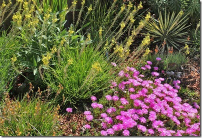 Succulents and More: Ice plants lighting up the garden