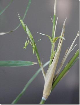 110503_Pleioblastus-simonii-flowering_01