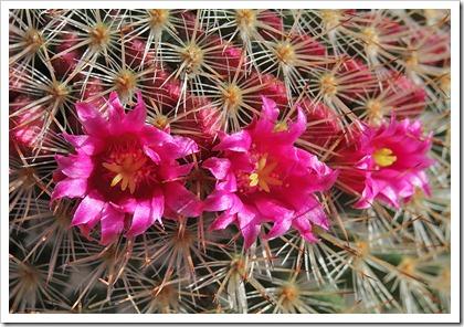110505_Mammillaria-spinosissima_03