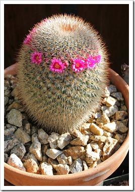 110505_Mammillaria-spinosissima_01