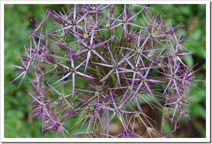 110508_Allium-christophii