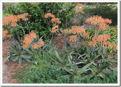 110508_Aloe-striata-x-maculata