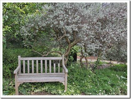 110508_Leucophyllum-frutescens_02