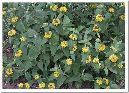 110508_(Phlomis-fruticosa