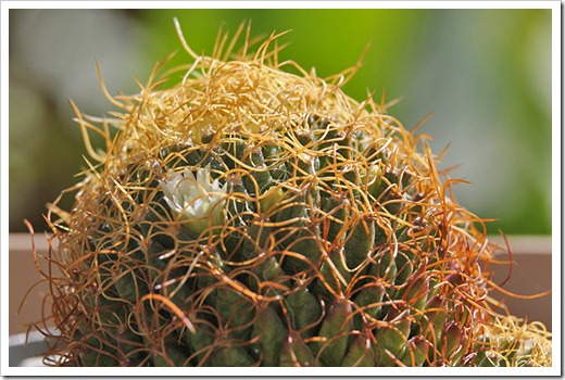 110509_Mammillaria-camptotricha-marnier-lapostollei_03