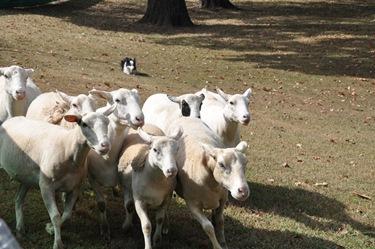 sheepdogs_kayekilla_clanjamfry