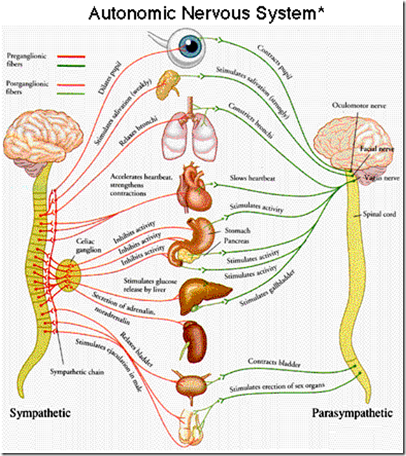 How does the autonomic nervous system function in the maintenance of ...