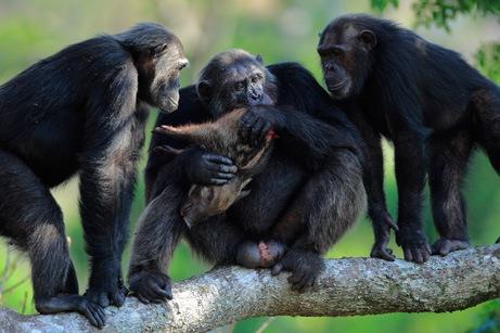 arabaquarius_chimp_461