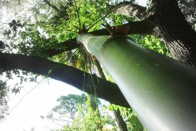 bamboo tres (1)