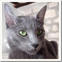 russian-blue-cat-facts