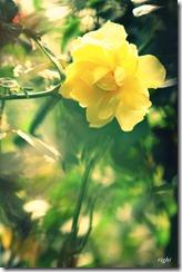 薔薇の森で