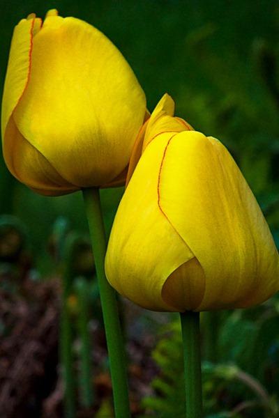 DSCF2389_tulips[1]