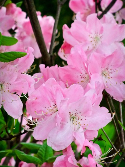 DSCF2414_rhododendron[1]