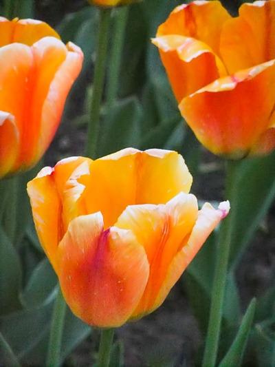 DSCF2467_tulips[1]
