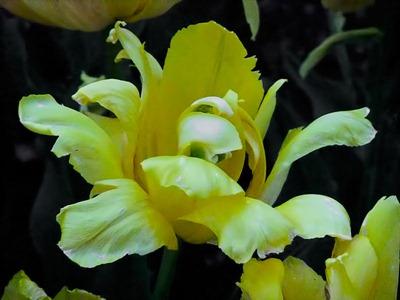 DSCF2474_tulip[1]