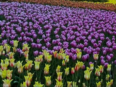 DSCF2485_tulips[1]