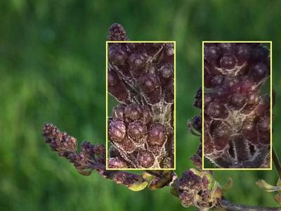 DSCF5215_hs10_lilac_crops[1]