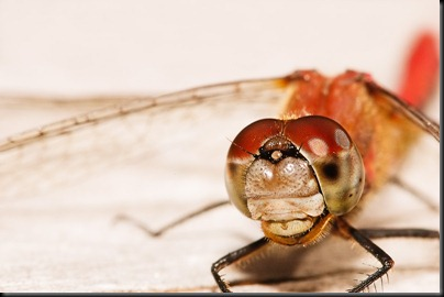 DSC_0508_dragonfly_face2[1]