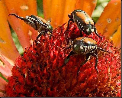 DSCF4496_beetle[1]