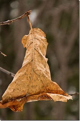 DSCF2331_oak_leaf