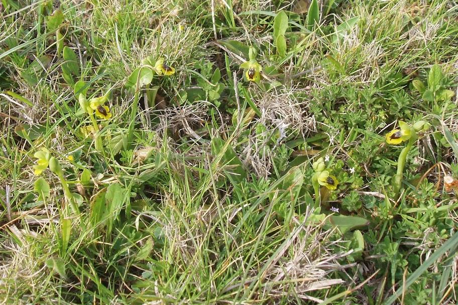 sur Ophrys corsica Dan%20Ophrys%20corsica%204