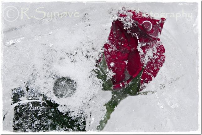 Vakker rose i snøen tonet ned