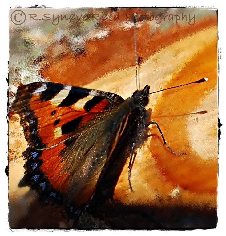 Mer sommerfugl