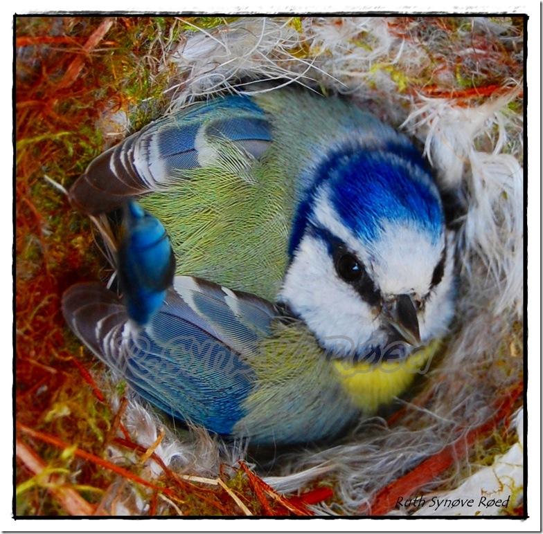 blåmeis i fuglekassen vår
