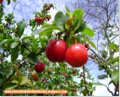 barbados-cherry