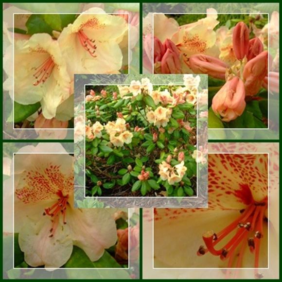 Rhododendron 'Viscy'
