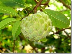 sitafal_fruit