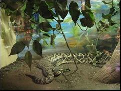 ABQrattlesnake-web