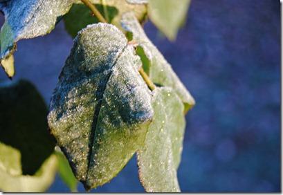 Frost Rose Leaf