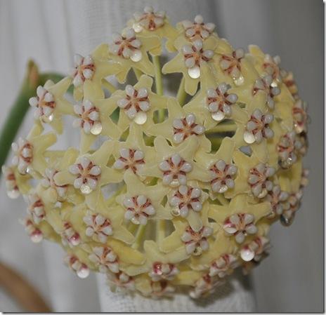 H. globulosa