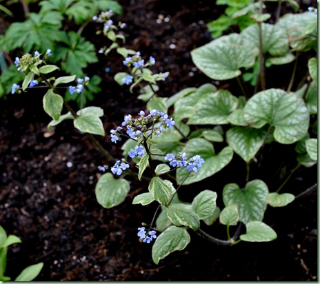 brunnera macrophylla silver wings
