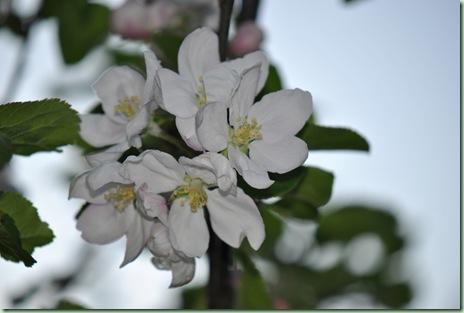 äppleblomma
